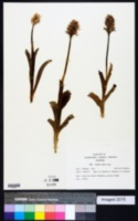 Image of Orchis simia
