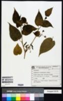 Image of Solanum sciadostylis