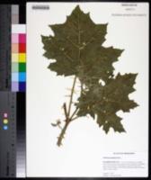 Solanum mammosum image