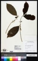 Casearia guianensis image
