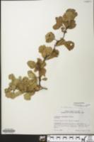Image of Crataegus furtiva