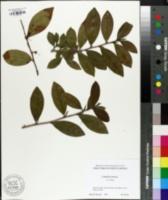 Image of Camellia sinensis