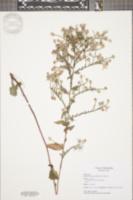 Symphyotrichum undulatum image