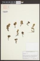 Image of Sedum obtusatum