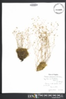 Arenaria groenlandica var. glabra image