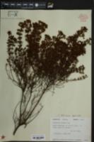 Hypericum nitidum image