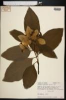 Image of Pinckneya bracteata