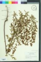 Image of Lechea mucronata
