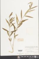 Image of Cynanchum stauntonii