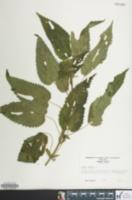 Urtica dioica image