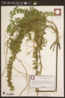 Lespedeza frutescens image