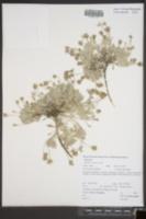 Image of Chaenactis evermannii