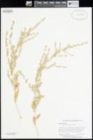 Atriplex rosea image