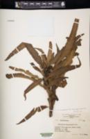 Image of Tricholepidium buergerianum