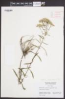 Eupatorium mohrii image