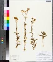 Image of Bahiopsis laciniata