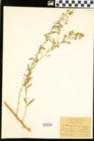 Image of Aster villosus