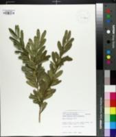 Buxus harlandii image