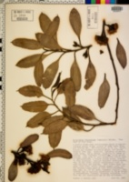 Image of Eucalyptus kitsoniana