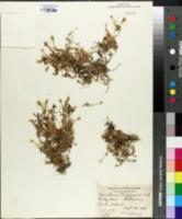 Image of Cerastium trigynum