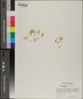 Leptosiphon chrysanthus image