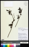 Image of Baccharis notosergila