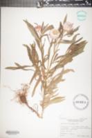 Helichrysum bracteatum image