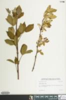 Image of Rubus immanis
