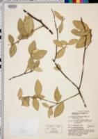 Image of Atalantia monophylla