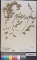 Euphorbia leucophylla image