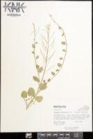 Cardamine rotundifolia image