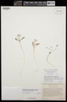 Image of Claytonia panamintensis