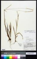 Paspalum setaceum var. villosissimum image