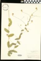 Symphyotrichum patens var. patentissimum image