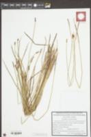 Image of Eleocharis austriaca