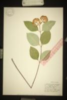 Image of Biventraria variegata