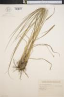 Image of Paspalum quadrifarium