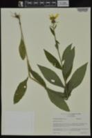 Verbesina helianthoides image