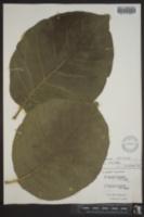 Image of Magnolia sprengeri