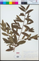 Ochna serrulata image