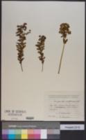 Image of Euphorbia condylocarpa