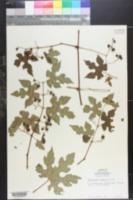 Image of Ampelopsis bodinieri