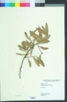 Image of Quercus geminata