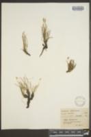 Image of Plantago juncoides