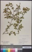 Rhamnus japonica image