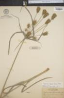 Image of Cyperus dipsaciformis