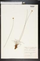 Image of Armeria filicaulis