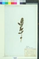 Image of Teucrium scordium