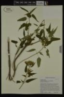 Monarda fistulosa var. mollis image