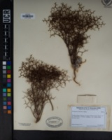 Image of Eriogonum rixfordii